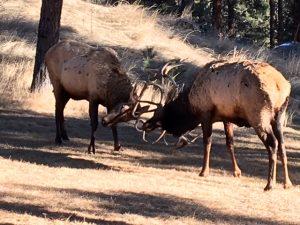 Elk-greystone